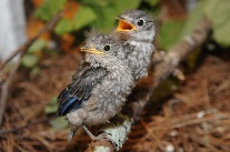awc-bluebirds-207
