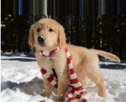 cci-puppy-scarf-2016-188