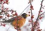 Chicago Botanic Garden Robin Holiday eCard